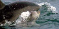 Bold war ein unerschrockenes Junges, das dem Rest der Gruppe voraus schwamm und in die Gruppe der größeren Tiere drängte, um zu fressen. Foto: ACOREMA
