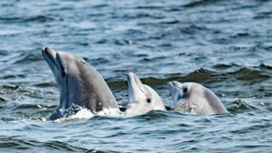 Drei Paracas Delfine schauen aus dem Wasser. Foto: ACOREMA