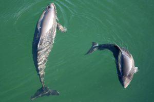 Eine Schweinswalmutter schwimmt mit ihrem Baby fast einen Kreis beschreibend umher, die Aufnahme von einem erhöhten Standpunkt zeigt beide Tiere deutlich erkennbar im klaren Wasser