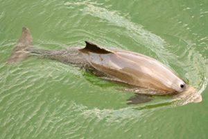 Biologie der Schweinswale