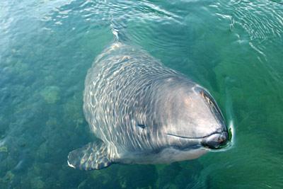Ein Schweinswal schaut neugierig aus dem Wasser: er streckt seine Schnauze bis zu den Mundwinkeln leicht schräg auftauchend in die Luft, ein Auge, der Rest des Kopfes, ein Flipper und sogar der Ansatz der Rückenfinne sind im klaren Wasser gut zu erkennen