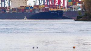 Schweinswale im Hamburger Hafen. Foto: Wibke Hildebrandt