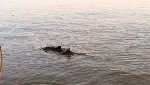 Schweinswale am Elbufer in norddeutschen Flüssen