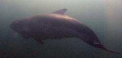 Der Schweinswal treibt im trüben Wasser von links nach rechts, sein Körper ist nur in Umrissen zu erkennen.