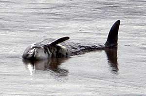 Toter Schweinswal liegt in der Brake