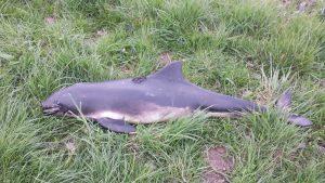 Toter Schweinswal wurde geborgen
