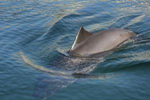 Schweinswal Rollende Bewegung beim Auftauchen
