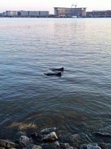 Schweinswale unterhalb der Elbchaussee gegenüber Finkenwerder Foto: Sophia Wenger 2013