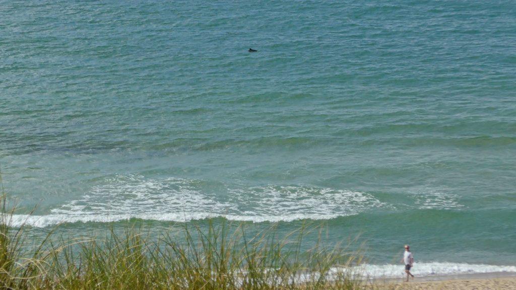 So können Schweinswale in freier Natur vom Strand aus gesehen werden. Strand Westerland, Sylt - Kinderstube der Wale. Copyright: Henning Pfeifer