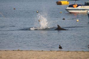 Splash - Flukenschlagen bei der Futtersuche, einer unser Paten-Delfine direkt am Strand con El Chaco, nur zwei Meter vom Ufer entfernt im flachen Wasser, 2018, Copyright: ACOREMA