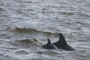 Delfinmuetter in Paracas - Longscare mit Baby © acorema