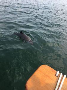 Schweinswale komme nahe ans Segelboot nähe Sonderborg, Copyright: Marcel Fenske