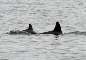 Delfinmutter Sharpy mit ihrem Jungen in der Paracas-Bucht © acorema