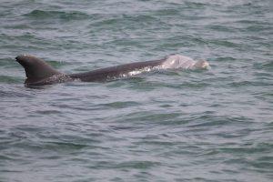 Delfinmutter Trinity in der Paracas-Bucht © acorema