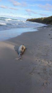 SchweinswalTotfund Ruegen Okt 18 G-Braun