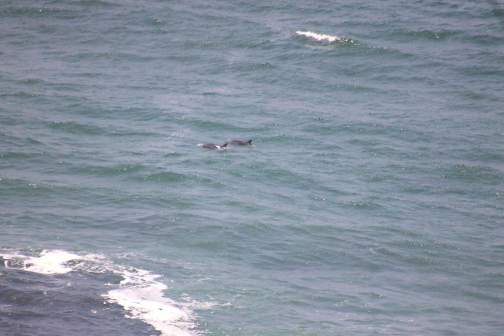 DElfine in der Supay Bucht Copyright ACOREMA